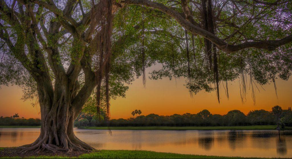 Blu Banyan tree on the river at sunset.